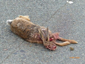 Brown Hare roadkill - Castle Carr Road